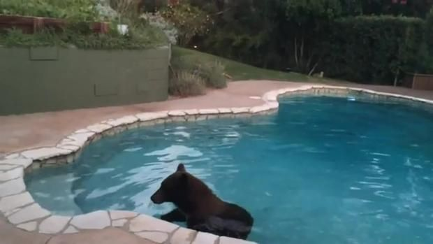 1000 images about bear necessities of life on pinterest baby polar bears polar bear cubs and for Sierra madre swimming pool sierra madre ca