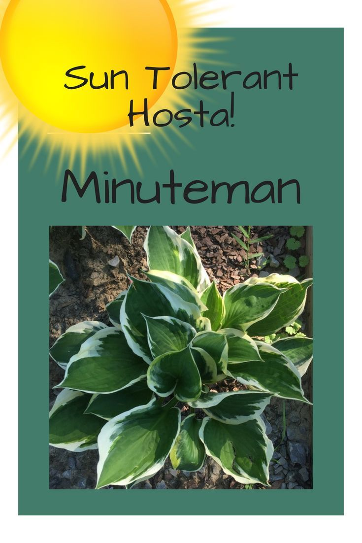 Minuteman Hosta Is Sun Tolerant And One Of The Best Hostas To Plant