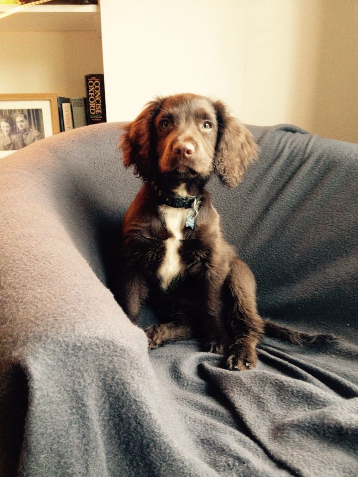 Chocolate Sprocker Spaniel Puppy