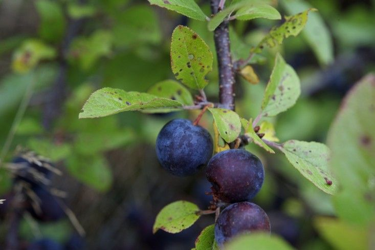 Foraging for beach plums on Cape Cod in autumn ; Gardenista: Beach plum (Prunus maritima) is a salt-tolerant, cold-hardy plant found in sandy soils from Maine south to Maryland. When ripe, its dusky edible purple fruits have a sweet winey flavor. ***I couldn't find one German Goggle entry :-(