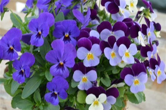 Viola x cornutta