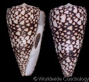 Conus (Conus) bandanus  Hwass, C.H. in Bruguière, J.G., 1792 Banded Marble…