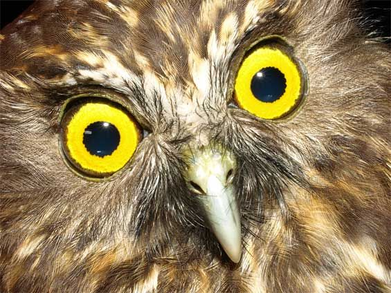 Morepork/ruru. New Zealand's only surviving native owl. Photo: Rod Hay #nzbirds