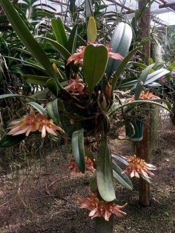 Bulbophyllum bicolor Nota taxonômica: referido também como Cirrhopetalum bicolor, a despeito de aceito por parte dos taxonomistas, a utilização deste gênero não é unanimidade na comunidade científica. Até que se chegue a um consenso, seguimos a corrente dominante e utilizamos o nome Bulbophyllum.  Cultivo: bastante fácil, pode ser plantado e regado como as Cattleya porém prefere um local levemente mais sombreado, entre 70% e 80%.