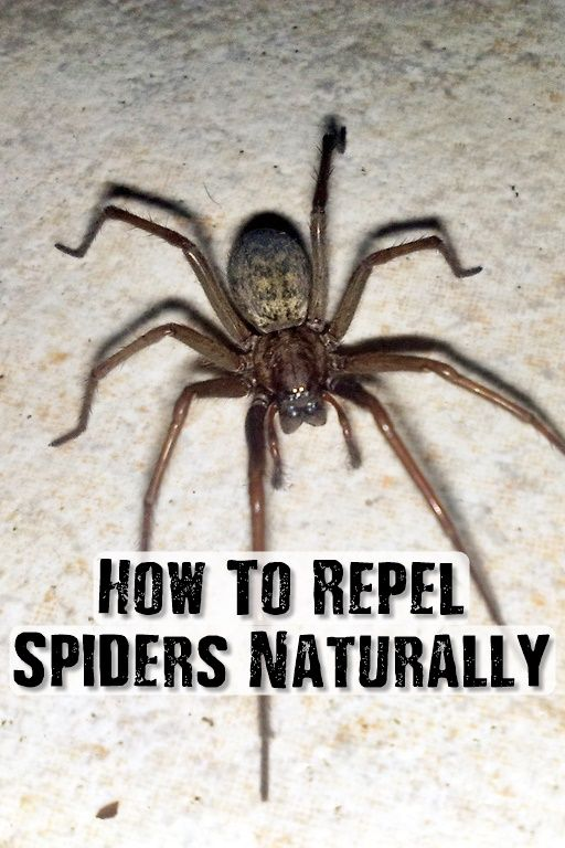 How to repel spiders naturally spiders have their taste Natural spider repellent