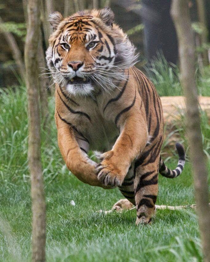 Tiger Attack! | Photo by Talvinder Chokan #Destination_wild by destination_wild