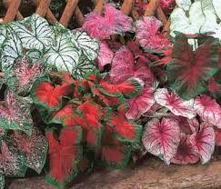 planta de hoja verde y roja - Buscar con Google