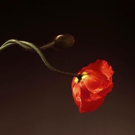 Robert Mapplethorpe, Poppy (1988)