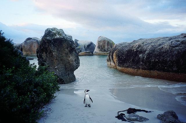#penguins at bolder beach near cape town