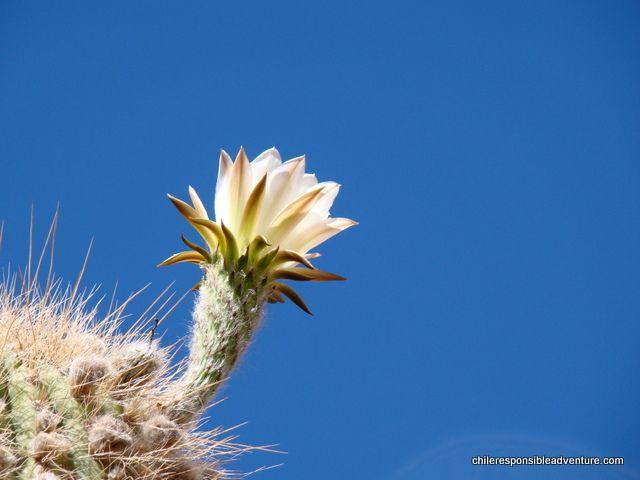 The giant cacti's flower