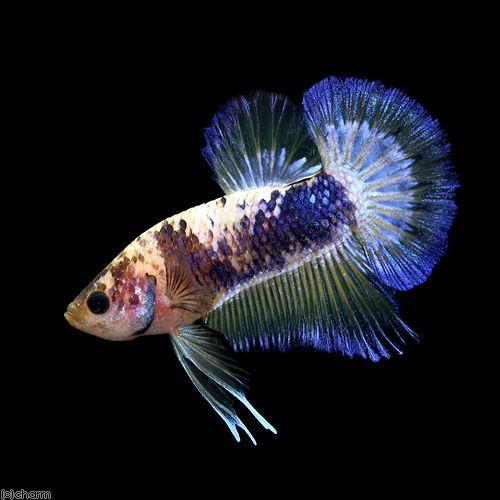 14 best tropical fish 2014 calendar images on pinterest for Betta fish diet