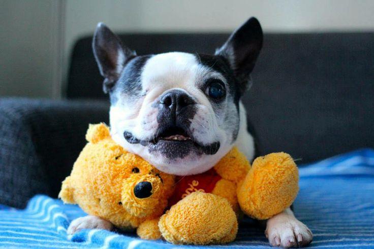 Awww Boston Terrier, Pepper and Winnie the Pooh.  So cute!