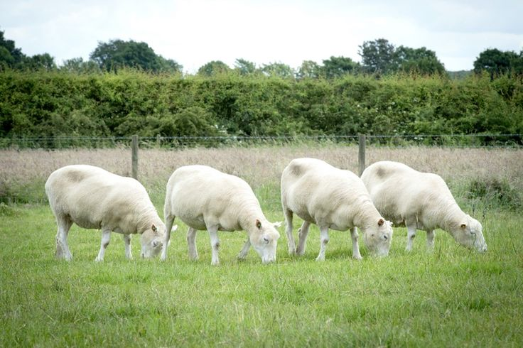 Clones of Dolly the sheep are ageing normally The iconic farm animal's legacy lives on in a flock of clones which, unlike her, appear to be healthy in their old age.
