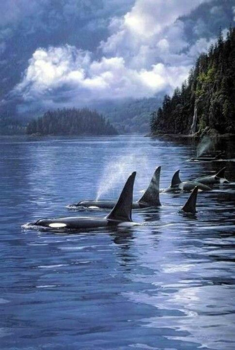 Orcas in their natural environment. it's so much better to see them in the wild. Boycott Sea World!!