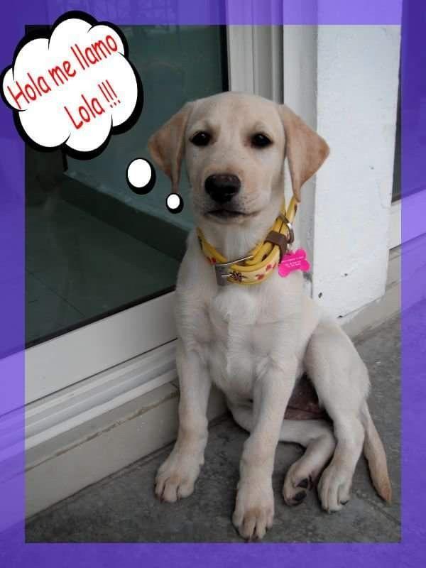 Pin By Koko C On Yellow Lab Labrador Labrador Retriever Retriever