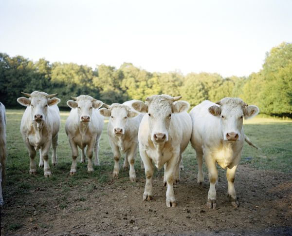 FARMHOUSE – ANIMALS – the welcoming committee greets visitors as they approach the farm entrance.