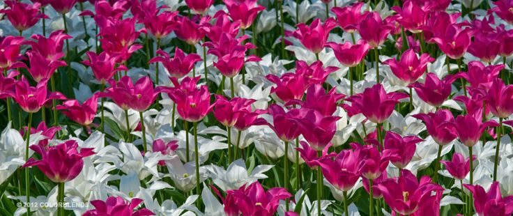 Tulip Ternstyle ™ | Colorblends of Tulips Bulbs for Sale | COLORBLENDS