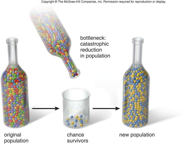 Bottleneck Effect: one type of genetic drift in which a natural disaster kills large numbers of a population regardless of fitness level & the surviving reduced population is likely to have a genetic makeup that is not representative of the original population; allele frequencies are unlikely to be identical to that of the original population