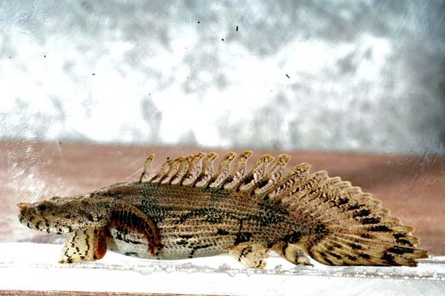 Freshwater dragon fish full size for Freshwater dragon fish