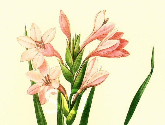Glaieul Gladiolus Laccatus Illustration Grand Format P J Redoute