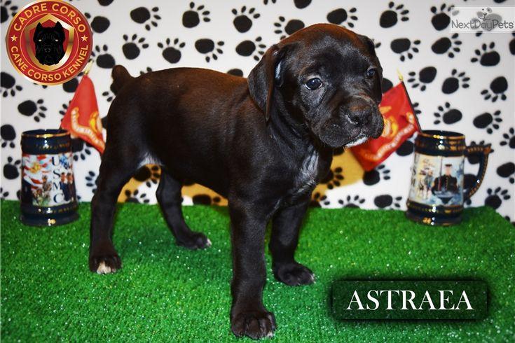 Astraea Cane Corso Mastiff Puppy For Sale Near Denver 2016