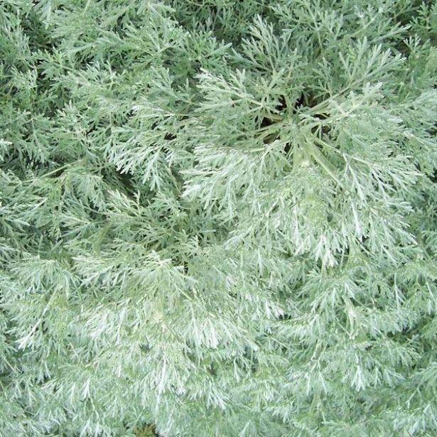 L'Armoise arborescente Powis Castle, vivace arbustive au feuillage aromatique gris argenté