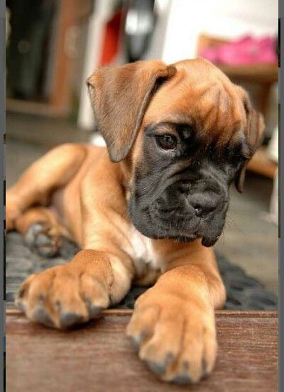 Beautiful Boxer Puppy