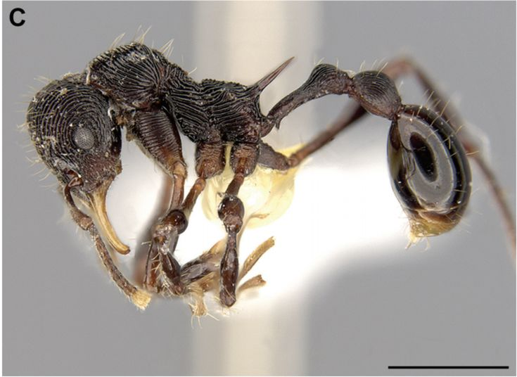New ant species found in the belly of a frog