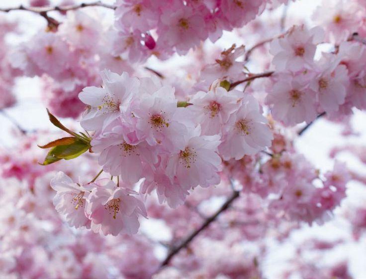 PRUNUS SARGENTII -ryhmä 'ACCOLADE', koristekirsikka. Kirsikankukat – japaniksi sakura – ovat Japanin symboli ja japanilaisten kansalliskukka. Koristekirsikkalajikkeita | Koti ja puutarha