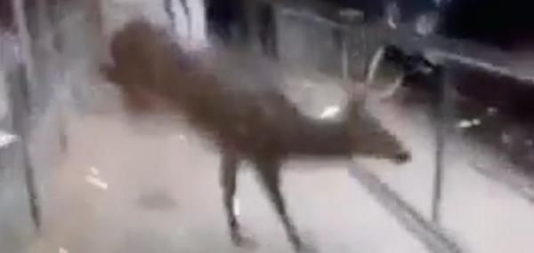 Deer crashes through window of Oklahoma American Eagle store