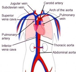 Ou human circulatory system diagram wiring library 10 best aubrey mccloud images on pinterest circulatory system rh pinterest com human circulatory system diagram ccuart