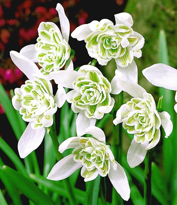 Sneeuwklokje 'Flore Pleno'. Sneeuwklokjes kent iedereen. Maar deze dubbelbloemige soort is een echte zeldzaamheid. Een charmante hartenbreker in het wit. Zeer geschikt om te laten verwilderen. Bloeitijd februari-maart. Snowdrop Flore Pleno - Flore Pleno reaches about 4 to 5 inches high, with 2- to 3-inch nodding white blooms that open wide to show off the cluster of green and white petal segments at their center.