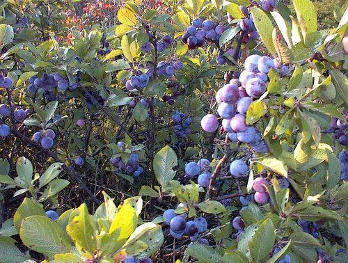 "Plum Berry - Beach Plum - Prunus maritima - 4"""" Pot"