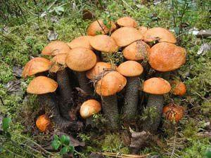 Как быстро растут грибы? Пожалуй, ни одно из растений, широко используемых человеком в пищу, не вырастает так быстро до спелого состояния, как гриб. Отсюда и выражение «растет как гриб». Однако в представлении грибников скорость роста грибов обычно преувеличивается. Читать далее: http://tverhunter.ru/index.php/kakbistro.html