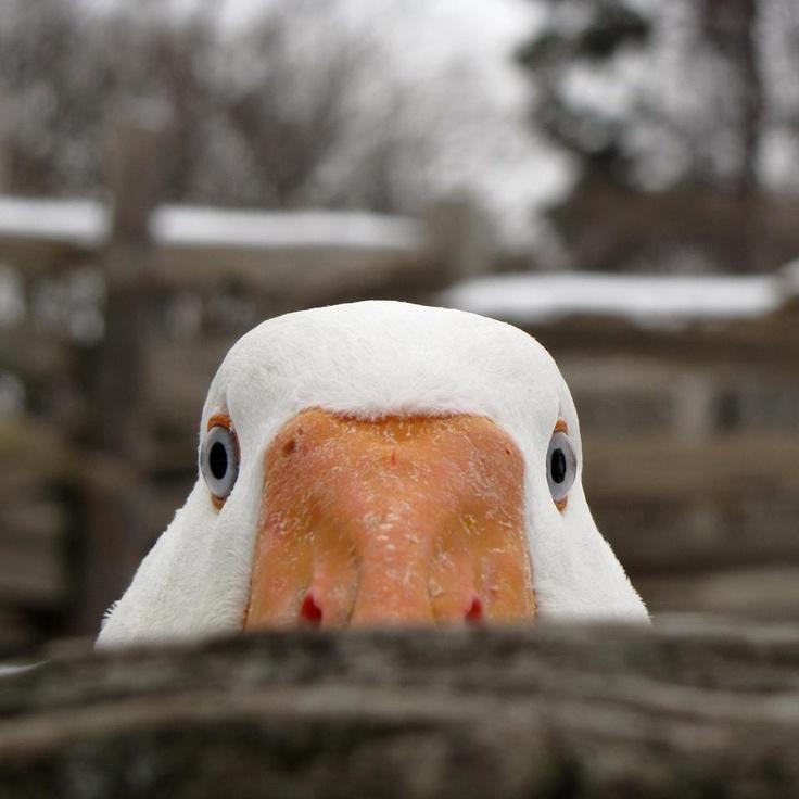 AFLAC!: Animals, Stuff, Ducks, Funny, Funnies, Things, Peek A Boo, Birds