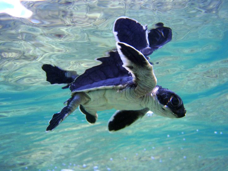 Cute baby sea turtles in the water - photo#3