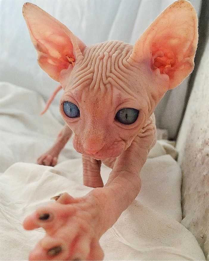I M In Love With This Sphynx Kitten Love Animals Cats Sphynx Cats Cat Care Sphynx Cat Sphynx