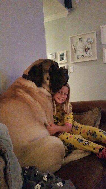 English Mastiff Love