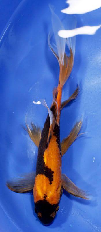 Goldfish - Wonderfully colored Shubbie
