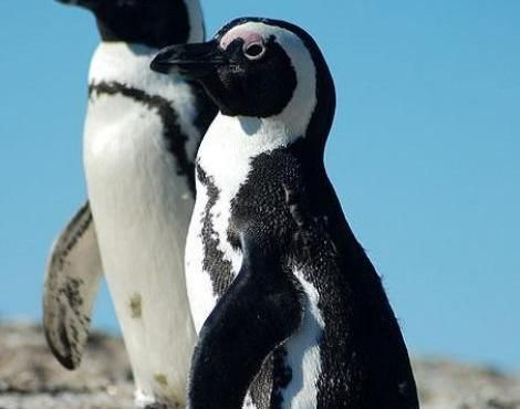 Pictures of African Penguin