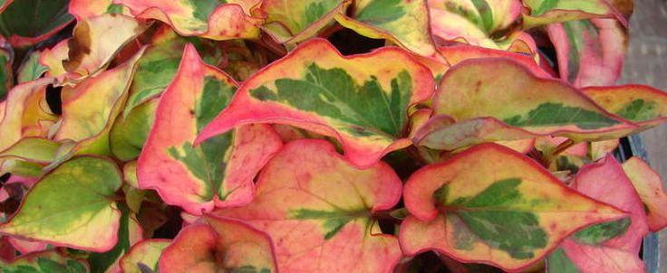 Variegated chameleon plant