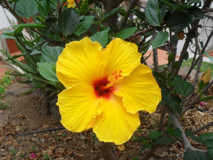 my yellow ibiscus - 2