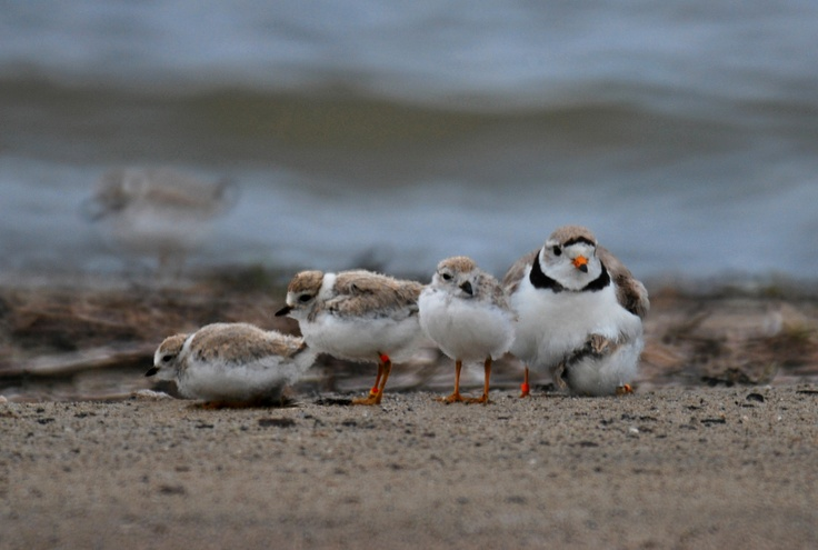 Species at Risk: Piping Plover (Status = Endangered)