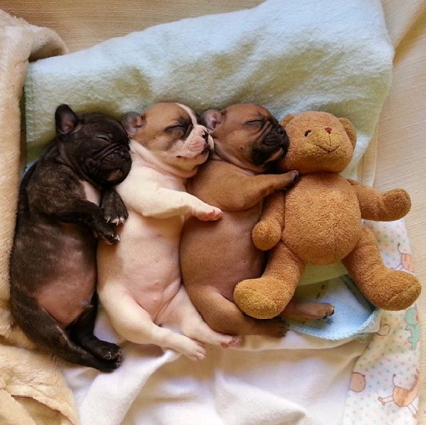 Bulldog PUPPIES IN A ROW CUDDLING EACH OTHER AND TEDDY BEARS
