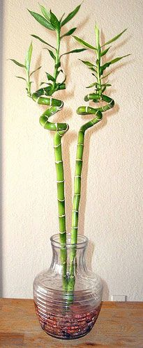 Lucky Bamboo Indoor Plant Care