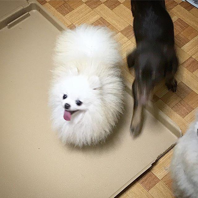 チッチ妊娠してそうƪ(˘⌣˘)ʃお相手はザラくんなので大期待♡ . #whitepomeranian #pomeranian #whitedog #dog #dogstagram #dogsofinstagram #pomeranianworld #ilovedogs #ポメ #ポメラニアン #ホワイトポメラニアン #犬 #愛犬 #こいぬ #子犬 #puppy #ブリーダー #ポメラニアンブリーダー #ブリーダー
