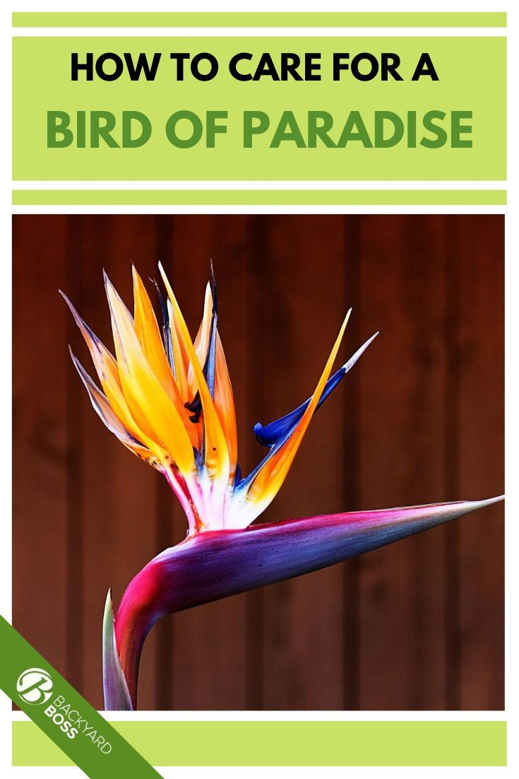 Bird Of Paradise Guide How To Take Care Of A Bird Of Paradise Plant In 2020 Birds Of Paradise Plant Birds Of Paradise Paradise Plant