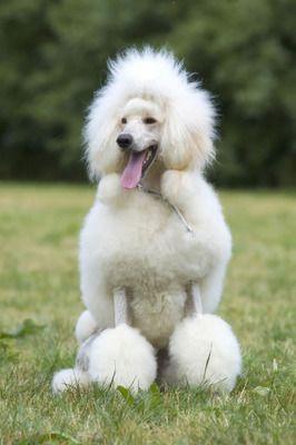 elegant standard poodle dog show cut