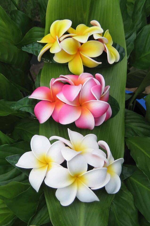 Triple plumeria  reminds me of Hawaii!!!