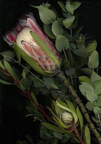 Scanner Art: Australian Native Flowers by spitfirelas, via Flickr